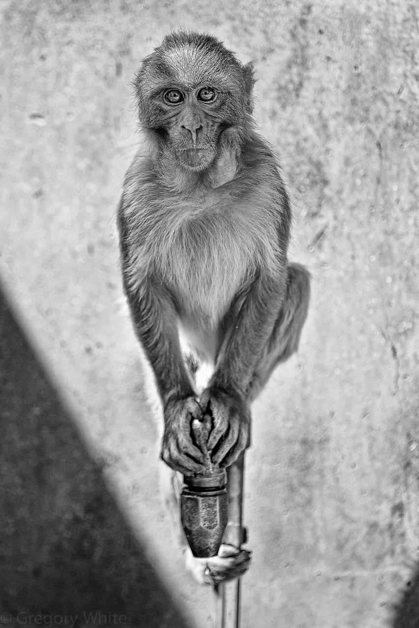 Monkey, Shimla.  Limited edition prints available.
