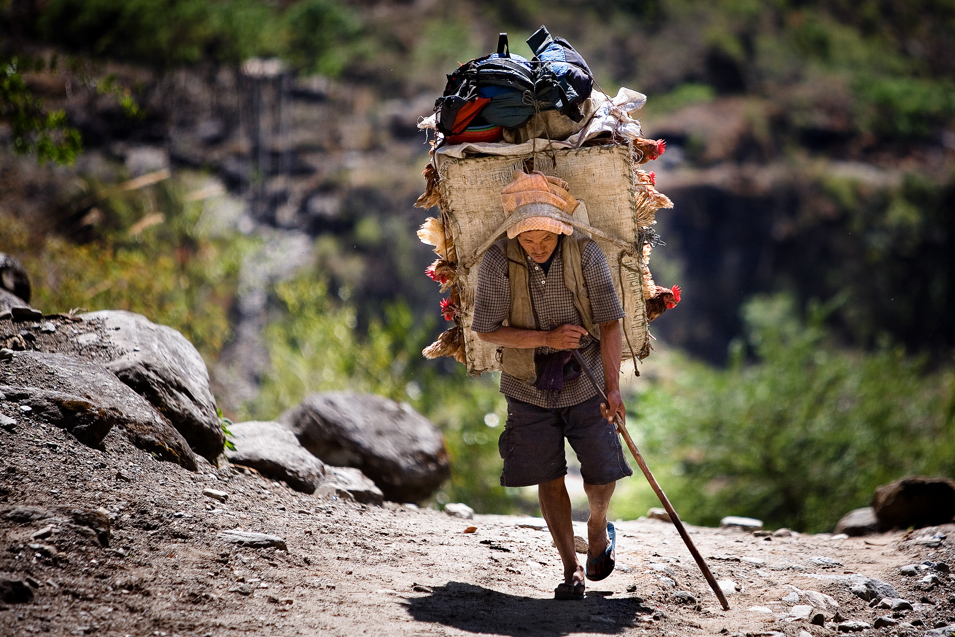 Chicken man carries a load to the remote villages.
